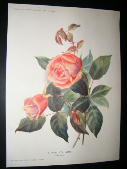 Amateur Gardening 1903 Botanical Print. A New Tea Rose | Albion Prints